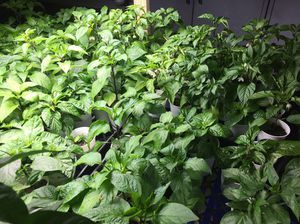 Chili Pepper Plants - Add some spice to your garden for Sale in North Las Vegas, NV