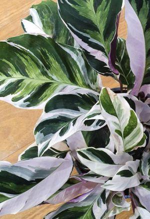 Calathea White Fusion for Sale in San Diego, CA