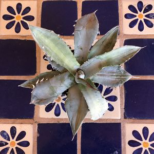 Succulent Plant Cactus Agave Potatorum for Sale in Chandler, AZ
