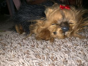 Perfect petzzz Yorkie for Sale in New Braunfels, TX