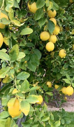 Organic Lemons from the tree for Sale in Chandler,  AZ