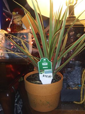 Good healthy live house plant for Sale in Murfreesboro, TN