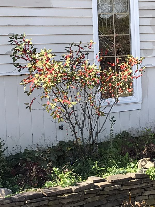 Winterberry holly for sale