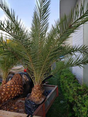 Palm tree , field grown for Sale in Pembroke Pines, FL