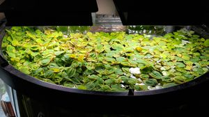 Red Rooter Floating Plants, for ponds and aquariums for Sale in Columbus, OH