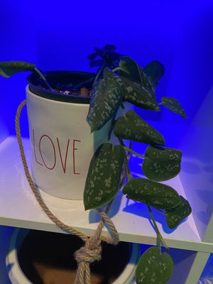 Satin pothos, 6inch pot not included $15 for Sale in Brentwood, CA