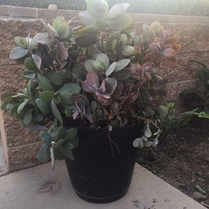 Large Plant for Sale in Rancho Cucamonga, CA