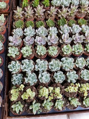 Succulents. Needs to be more than 200 ct for Sale in Orlando, FL
