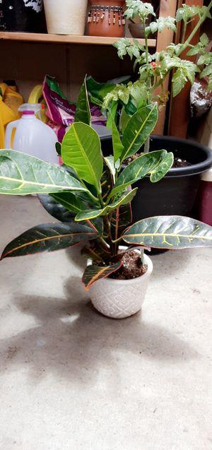 Croton plant for Sale in Hayward, CA