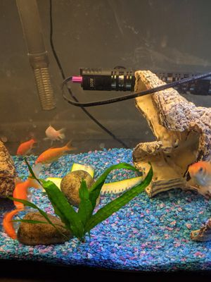 Pickup pending - Free Goldfish (Tank not included) for Sale in Guadalupe, AZ
