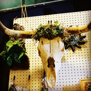 Bull scull with succulents for Sale in Norwalk, CA