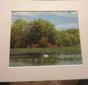 Swan in a Pond: 8x10 High Resolution Fine Art Print for Sale in Point Lookout, NY