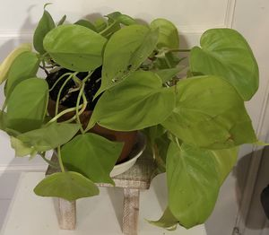 Heart leaf philodendron 5 inch container plant trailing. Philodendron neon Cordatum Lemon Lime 6 inch for Sale in Santa Rosa, CA