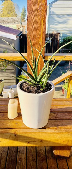 Live indoor Sansevieria Fernwood (Snake) house plant in a ceramic pot—firm price for Sale in Seattle, WA