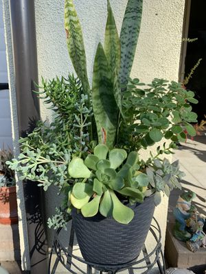Snake plants with assorted succulents for Sale in Los Alamitos, CA