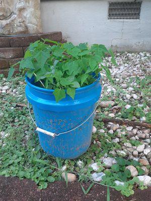 Papaya Plants for Sale in Madison Heights, VA