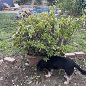 Jade plant With Planter for Sale in Los Angeles, CA
