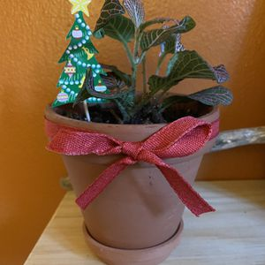 """Christmas Plant Gift In 4"""" Terra-cotta Pot for Sale in Queens, NY"""
