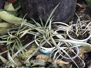Indoor or outdoor Chlorophytum comosum air cleaner spider plants for Sale in San Jose, CA