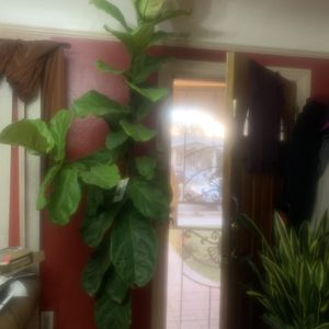 Fiddle Leaf Plant 8 Feet Tall. Very Healthy Plant. for Sale in Bell, CA