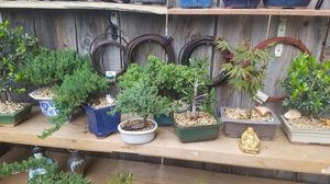 Bonsai $40 each many to choose from for Sale in Fresno, CA