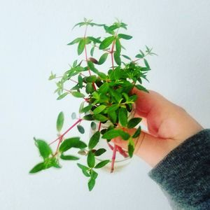 Peperomia rubella plant cuttings for Sale in Des Plaines, IL