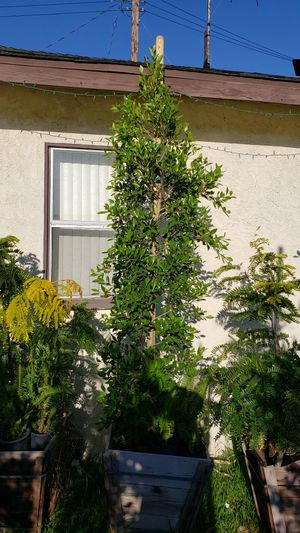 24g ficus nitida for hedge for Sale in Lakewood, CA