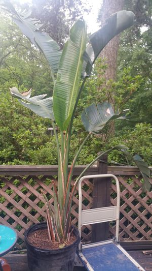 Large Brazilian Bird of paradise potted plant Red Flowers for Sale in Lithia Springs, GA