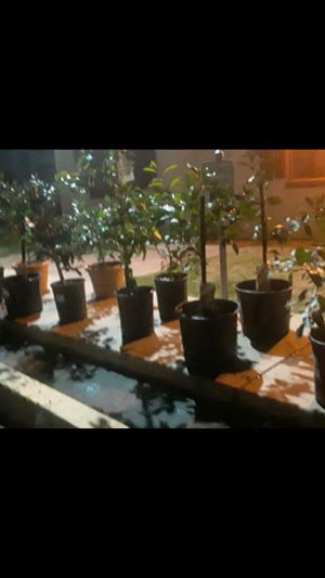 6 fruit trees 105$ for Sale in Phoenix, AZ