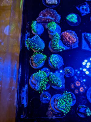 Neon green toadstool leather corals for Sale in La Quinta, CA