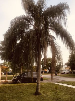 Free palm tree for Sale in North Lauderdale, FL