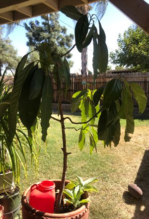 Avocado trees. with stand and flower pot ,con todo y macetero una tiene sago palm esa 60 dlrs for Sale in Moreno Valley, CA