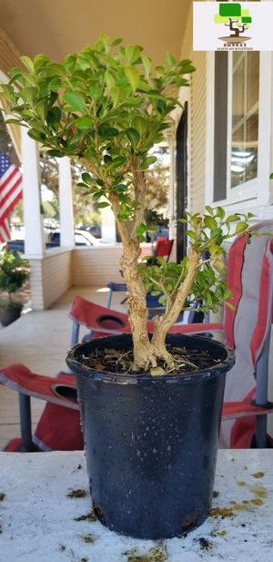 Japanese Boxwood Tree Plant Bonsai Green for Sale in Chula Vista, CA