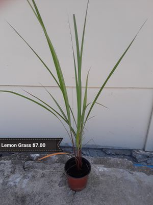 Lemon Grass/ Dragon fruit for Sale in San Antonio, TX