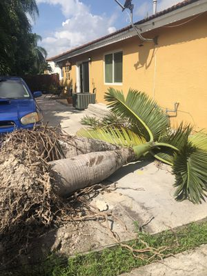 palm trees removed today $70 each for Sale in Miami, FL