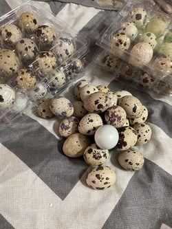 Quail eggs for Sale in Killeen,  TX