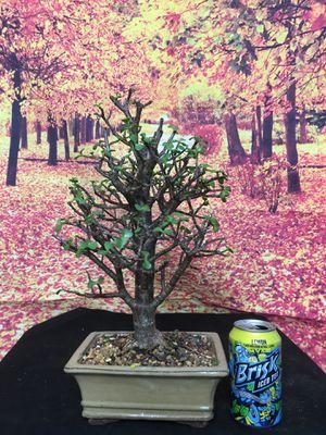 Bonsai: Dwarf Jade Plant for Sale in Malden, MA