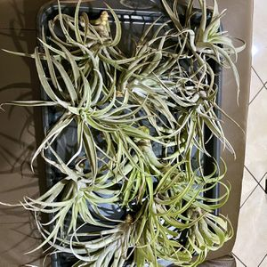 Thanksgiving Big Sales Air Plants for Sale in San Jose, CA
