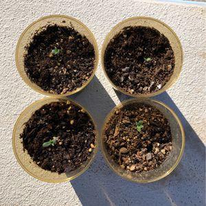 Sativa Seedling for Sale in Highland, CA