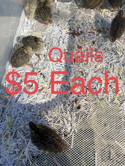 Quail for Sale in Ontario,  CA