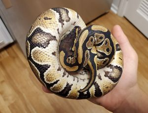 Female BALL PYTHON with cage, heat mat and supplies for Sale in San Diego, CA