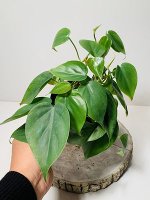 """4"""" Pot Heart Leaf Philodendron Live Plant for Sale in Everett, WA"""