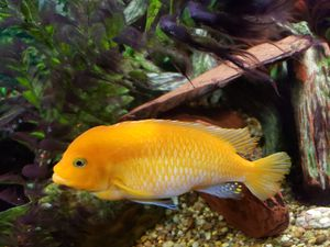 African cichlids for Sale in Peoria, IL