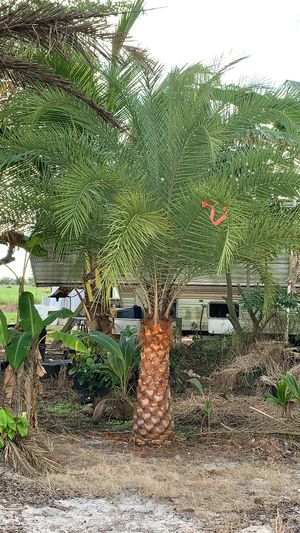 Silvester palm 5 ft for Sale in Pembroke Pines, FL