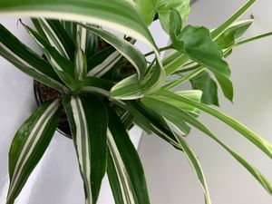 3 plants in 1 pot (philodendron, spider plant, song of India) for Sale in Renton, WA