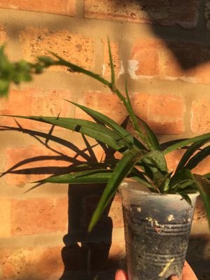Spider plant for Sale in Chicago, IL