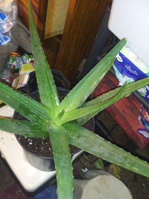 Large aloe Vera plant good for cuts and burn for Sale in Murfreesboro, TN