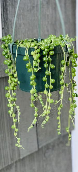 Live Indoor String of Pearls succulent plant in a temporary plastic nursery pot—firm price for Sale in Renton, WA