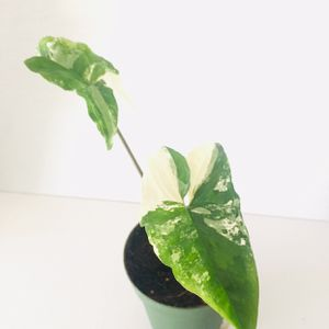 Fully Rooted Albo Variegata Syngonium for Sale in San Francisco, CA