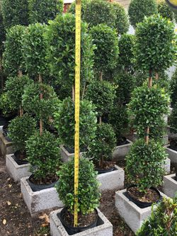 Balls Topiary In 3 gls Pot .4 Ft Tall SPECIAL PRICE!🤩 for Sale in Miami,  FL